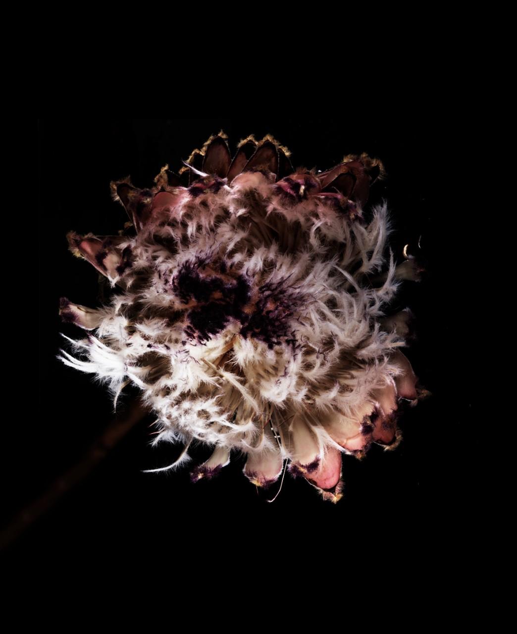FLOWERPLUME01