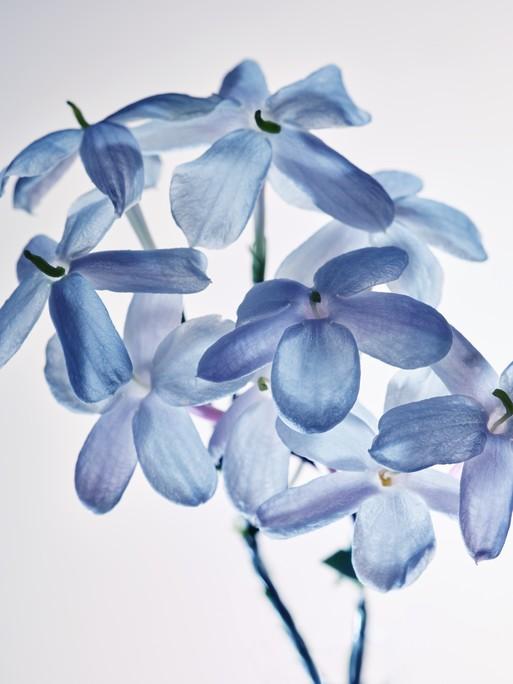 blue-jasmine-11