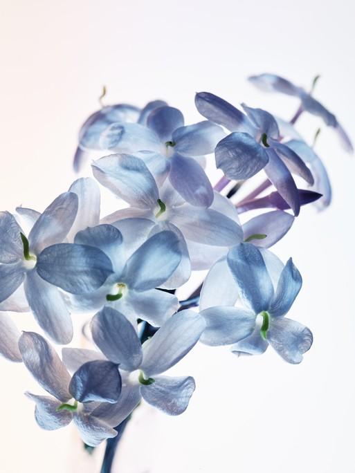 blue-jasmine-22